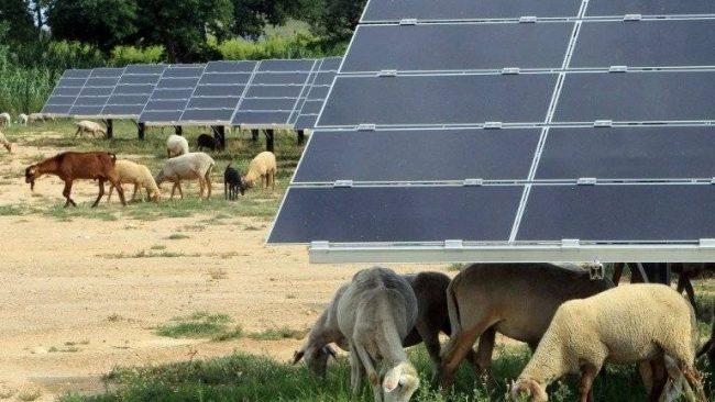 projet d'Ortaffa Pyrénées parc agro-photovoltaïque parc agri-solaire moutons chèvres entretiennent panneaux solaires